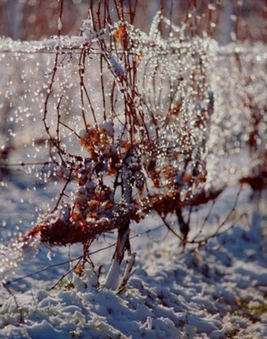 Icewine grapes on the vine catching the morning sunlight (CNW Group/Wine Marketing Association of Ontario)