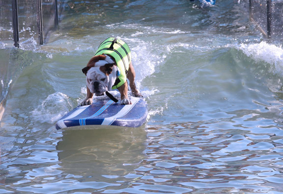 Surfing dogs will be the stars of The Lucy Pet Foundation and American Wave Machines float during the 2017 Tournament of Roses(R) that happens on January 2. The float is set to break the Guinness World Record for the longest and heaviest float with wave machine technology designed specifically for the float by American Wave Machines.