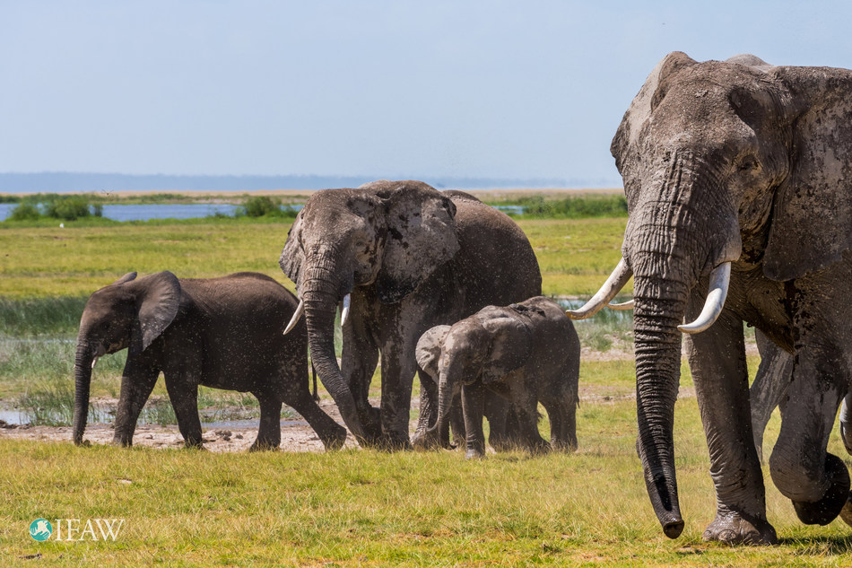 IFAW applauds China's decision to close domestic ivory markets in 2017