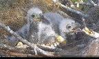 Help Name Two Adorable Baby Bald Eagles in Florida