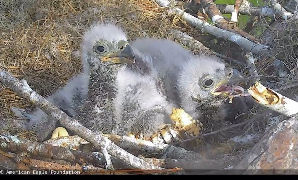 It's time to Name the Nestlings! These two adorable baby bald eagles are being raised by eagle parents Romeo & Juliet LIVE on the Northeast Florida Eagle Cam (NEFLEAGLECAM.ORG). They are currently being called NE16 & NE17, but the American Eagle Foundation needs help from the public to give them two nicknames that are as cool as the names of their parents. Visit NEFLEAGLECAM.ORG to participate! Photo (C) 2017 American Eagle Foundation, WWW.EAGLES.ORG.
