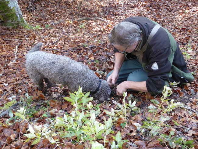 The dog and guide work together to find the highly sought-after prize, a fresh black truffle