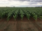 S&W Commences Commercial-Scale Sorghum Production