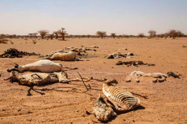 Animal carcasses are scattered across Somalia's landscape as its people face acute malnutrition due to drought and conflict. Steph Glinski/World Vision (CNW Group/World Vision Canada)