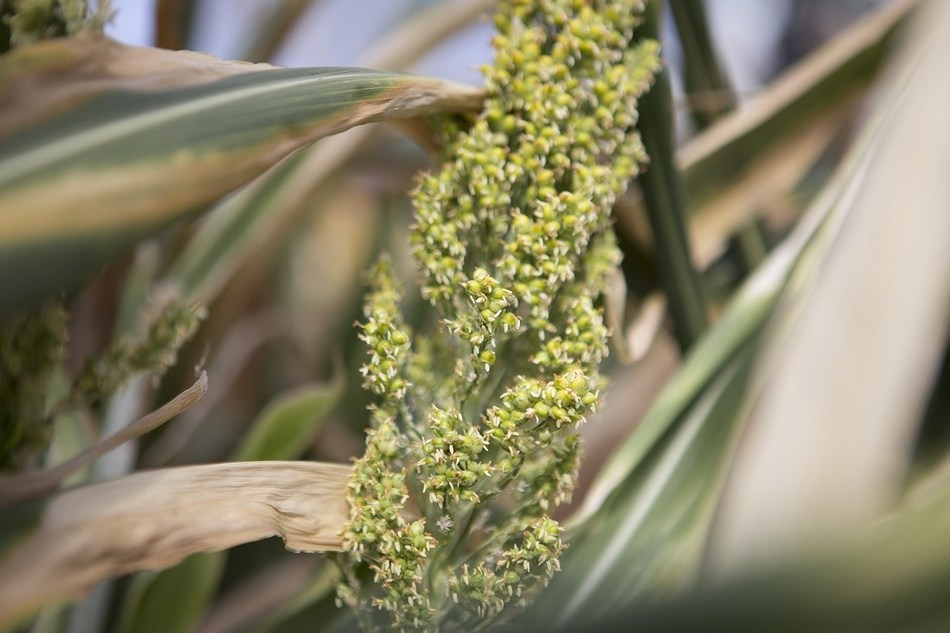 Sorghum is an ideal crop to meet the predicted doubling of global demand for food and fuel by 2050 with less impact on the environment.
