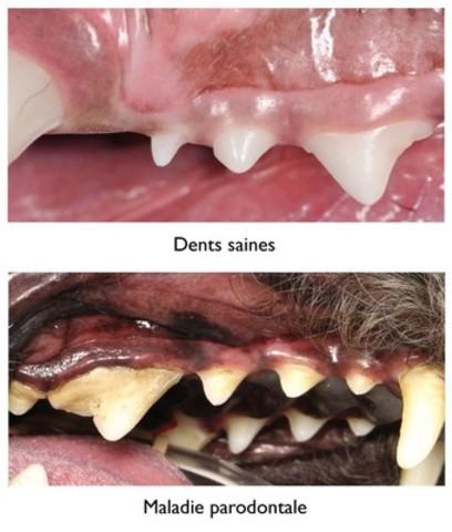 Examinez les dents de votre animal de compagnie. Si leur apparence est différente de celles qui apparaissent sur la photo  « Dents saines », votre animal pourrait souffrir de maladie parodontale et vous devriez consulter votre équipe de soins de santé vétérinaire. (Groupe CNW/Institut canadien de la santé animale)