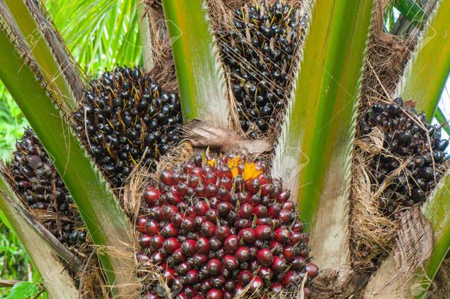 Plantations International Clears Malaysia Palm Oil Plantation