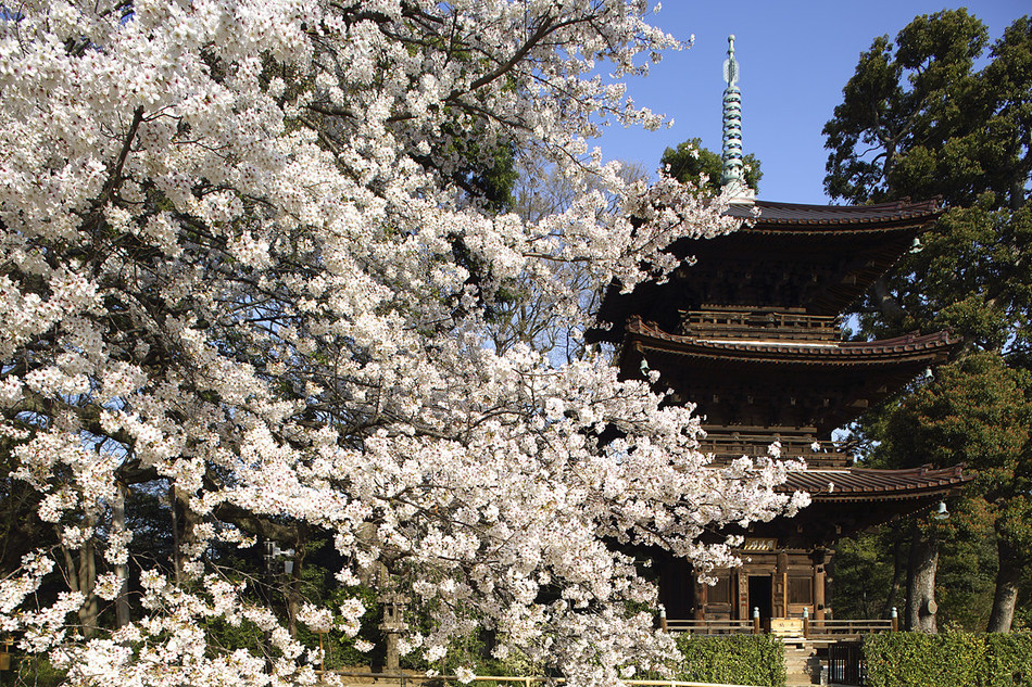 Hotel Chinzanso Tokyo's majestic Japanese botanical garden is home to 120 cherry trees representing 20 species, making it one of Tokyo's best cherry blossom viewing spots. The renowned botanical garden has numerous historical monuments and to this day remains one of Tokyo's beloved treasures. No other hotel in Tokyo owns such a vast expanse of nature.