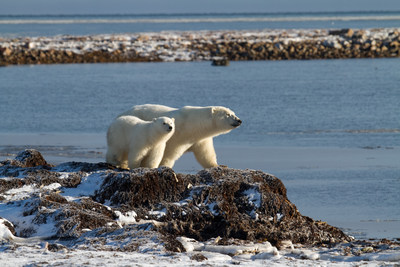 Polar Bears in the Arctic Photo credit: (C)Arctic Kingdom