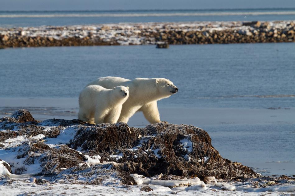 Polar Bears in the Arctic Photo credit: (C)Arctic Kingdom
