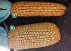 Corn without LEADGRAIN(TM) (A), with LEADGRAIN(TM) (B)