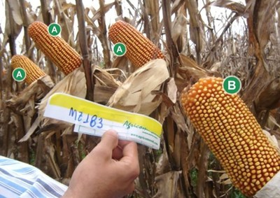 Hybrid corn originates from two parents, male and female. When Agricomseeds uses the trait only in one parent the ears have 20-24 rows (A), when the trait is used in both parents the ears have 28-32 rows (B).