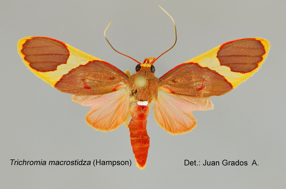 An average of one tiger moth species per month is being discovered at Refugio Amazonas, in Tambopata, Peru.  Photo credit: Juan Grados/Rainforest Expeditions