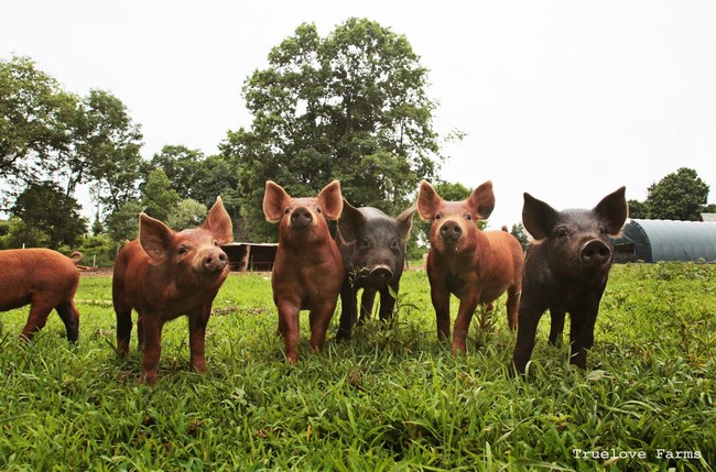 Pigs roam and forage in open pasture at Truelove Farms, a previous Fund-a-Farmer Grant Recipient.