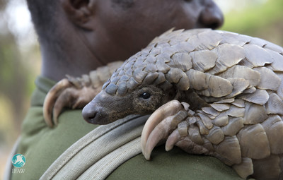IFAW protects pangolins on World Pangolin Day. Photo Credit: (C)International Fund for Animal Welfare