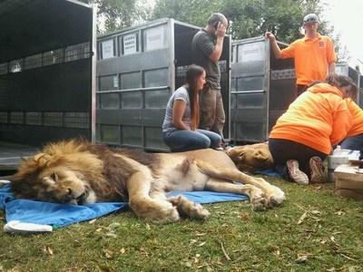 Sedated Male Lion