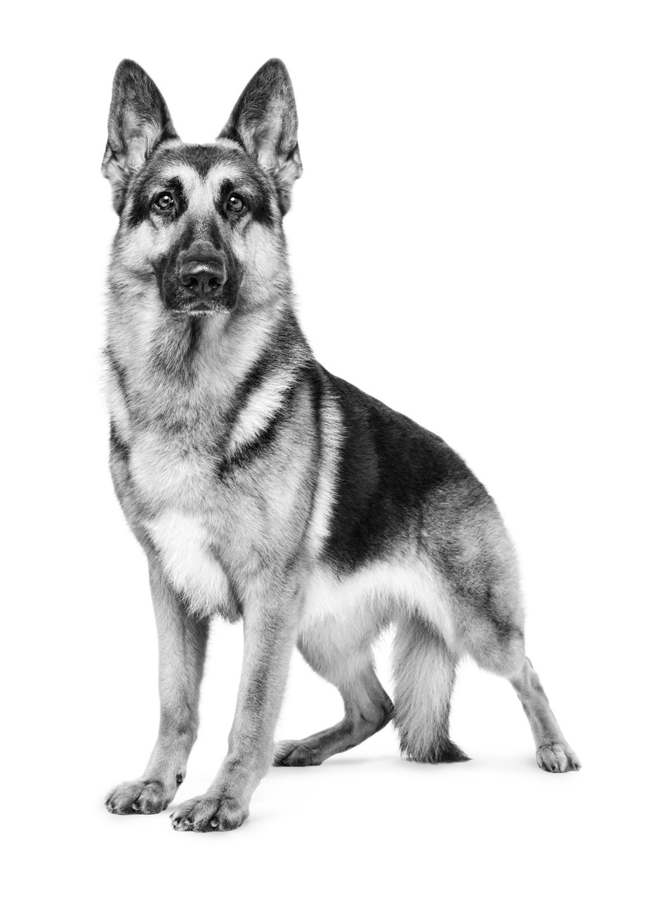 Rumor, a German Shepherd Dog and Royal Canin Brand Ambassador, won Best of Breed and the Herding Group on her way to Best in Show at the 141st Westminster Kennel Club Dog Show in New York last week.