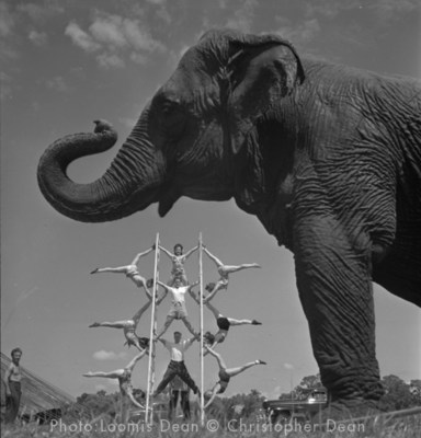 Jewell the Elephant at Ringling acrobat practice
