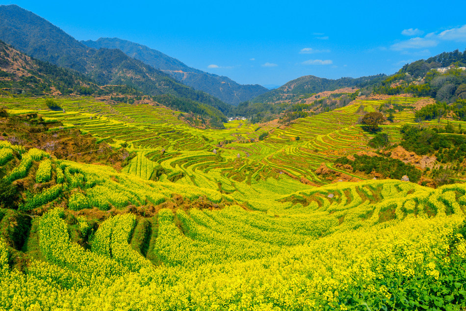 Praised as the most beautiful countryside in China, Huangling turns into a golden field of seasonal wonder as spring arrives