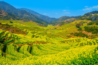 Helicopter Tour Returns: Huangling Turns into a Golden Field of Seasonal Wonder as Spring Arrives
