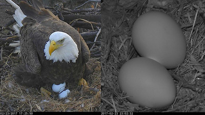 World-Famous Bald Eagle parents, Mr. President & The First Lady, have welcomed their second egg of 2017 into their Washington DC nest. The eggs will hatch after about 35-days of incubation by the parents. Watch LIVE on dceaglecam.org. Photos (C) 2017 American Eagle Foundation.