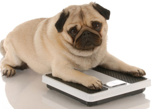 Over 50 per cent of dogs and cats in North America are overweight. Safe, successful weight loss programs are available from veterinary teams to improve an animals' quality of life. (CNW Group/Canadian Animal Health Institute)