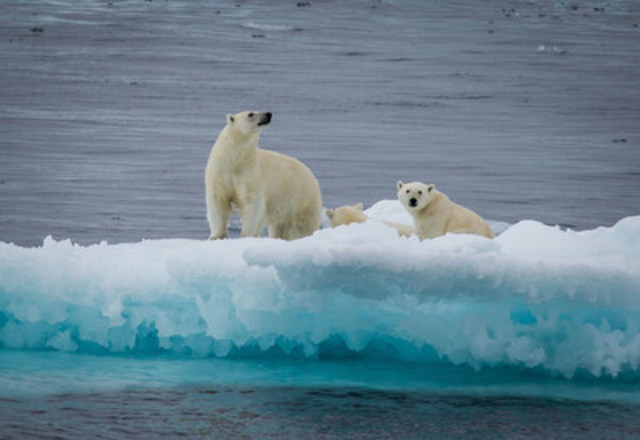 Polar bear and yearlings on an ice floe, Nunavut, Canada. © Lee Narraway / Students on Ice (CNW Group/WWF-Canada)