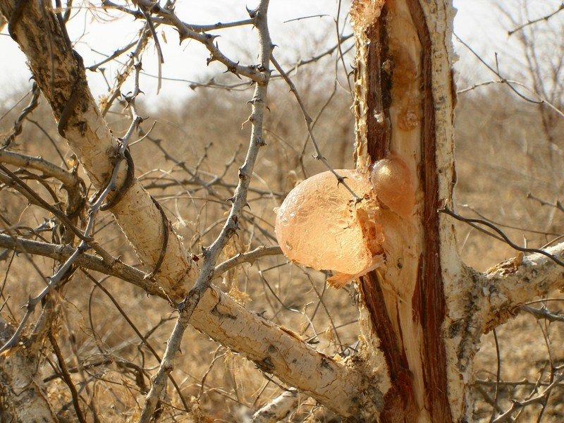 Acacia trees exudate the gum, which will dry when in contact with air, then forming a nodule that can easily be harvested. (PRNewsFoto/Alland & Robert)