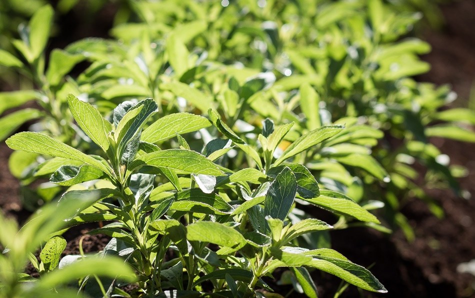 The stevia plant grows in a field in Kenya. (PRNewsFoto/PureCircle)
