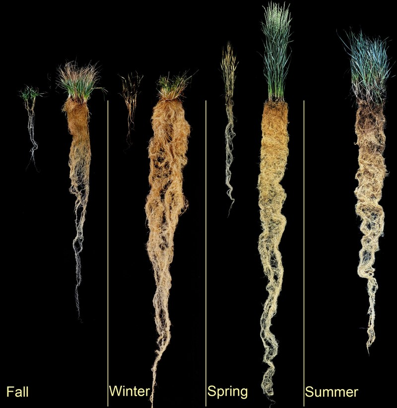 Side by side comparison of common wheat roots and Kernza(R) wheat roots throughout the four seasons in a year.