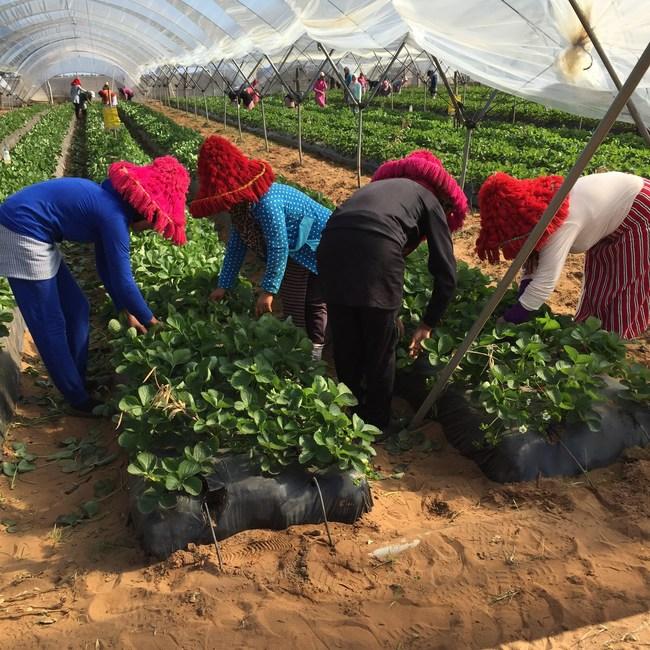 Strawberry farmers in Morrocco