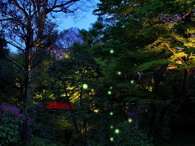 Fireflies have been honored in Japanese culture for over a thousand years as a symbol of the beauty of early summer. Each year from late May to early July, Hotel Chinzanso Tokyo's lush botanical garden welcomes thousands of twinkling fireflies, an extremely rare sight in Tokyo.