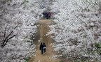 China's Largest Peach Blossom Field Flower Season Starts Now