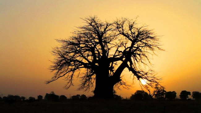 Baobab tree (courtesy: Kaibae)