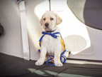 Chrysler Brand Introduces PacifiPuppy Foley to Launch New Social Initiative in Partnership with Canine Companions for Independence's 'Give a Dog a Job' Campaign