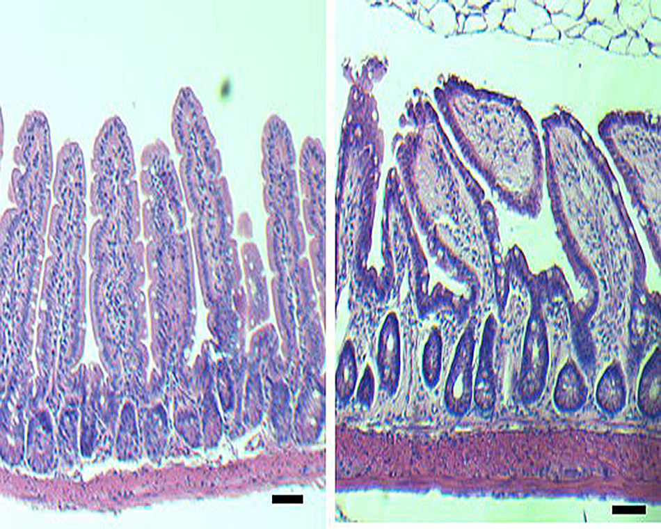 These microscopic images show structural changes in the intestine of an older mouse approaching 2 years of age (right) compared to intestine from a young 2-3 month old mouse (left). The older intestine has a smaller number of intestinal crypts (mucosal glands) that are wider. Researchers report in Cell Reports that intestinal stem cells (ISCs) age along with the animals, causing detrimental changes to intestinal structures and their function. They also show function can be restored by reactivating the signaling of a key molecule lost in aging intestinal stem cells.