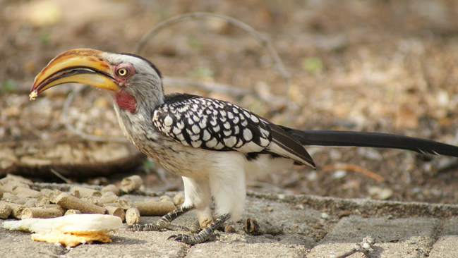 Not only hornbills, but numerous species, including Amazon parrots, macaws, parakeets, owls, and songbirds compete with Africanized bees for nest cavities.
