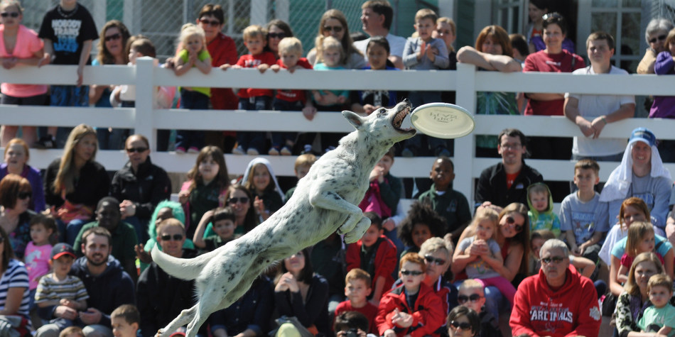 Catch a Purina(R) Pro Plan(R) Performance Team show at Purina Farms, where dogs demonstrate their amazing skills in flying disc, diving dog and agility. The Visitor Center re-opens for the 2017 season on Saturday, March 18.
