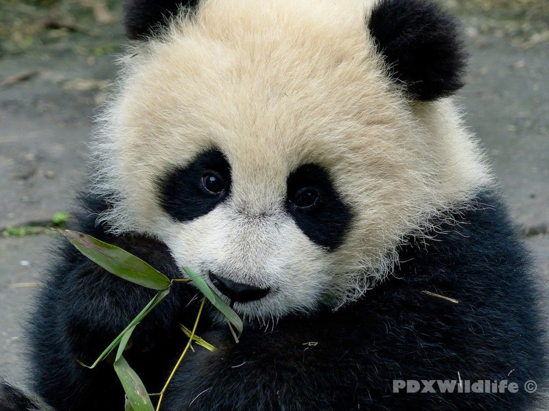 Bamboo could be one source of lead exposure threatening the reproductive success of the giant panda species. First-ever study seeks to better understand all exposure sources.
