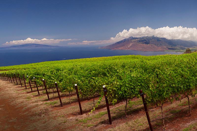 (Photo credit MauiWine) - MauiWine vineyard on the slopes of Haleakala.