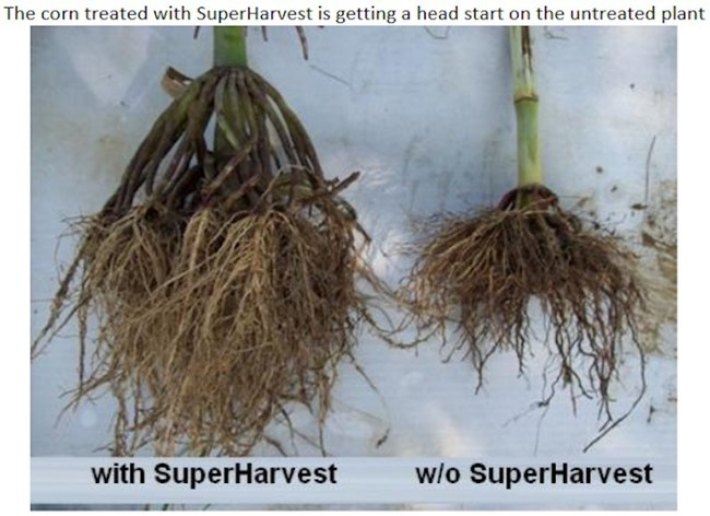 Corn with SuperHarvest Sprayed on = a Better Root System