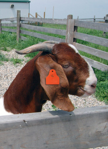 Under new regulations livestock producers will be required to tag each animal with a unique identification number and track movement when it leaves the farm for finishing, processing, etc. (CNW Group/Canadian National Goat Federation)