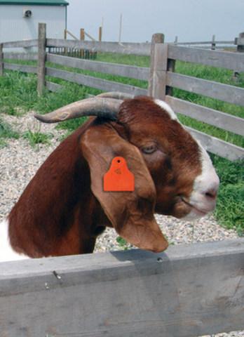 Les nouvelles règles obligeront les éleveurs de bétail à marquer chaque animal d'un numéro d'identification unique et à en surveiller les déplacements lorsqu'il quitte l'élevage pour le parc d'engraissement, la transformation, etc. (Groupe CNW/Canadian National Goat Federation)