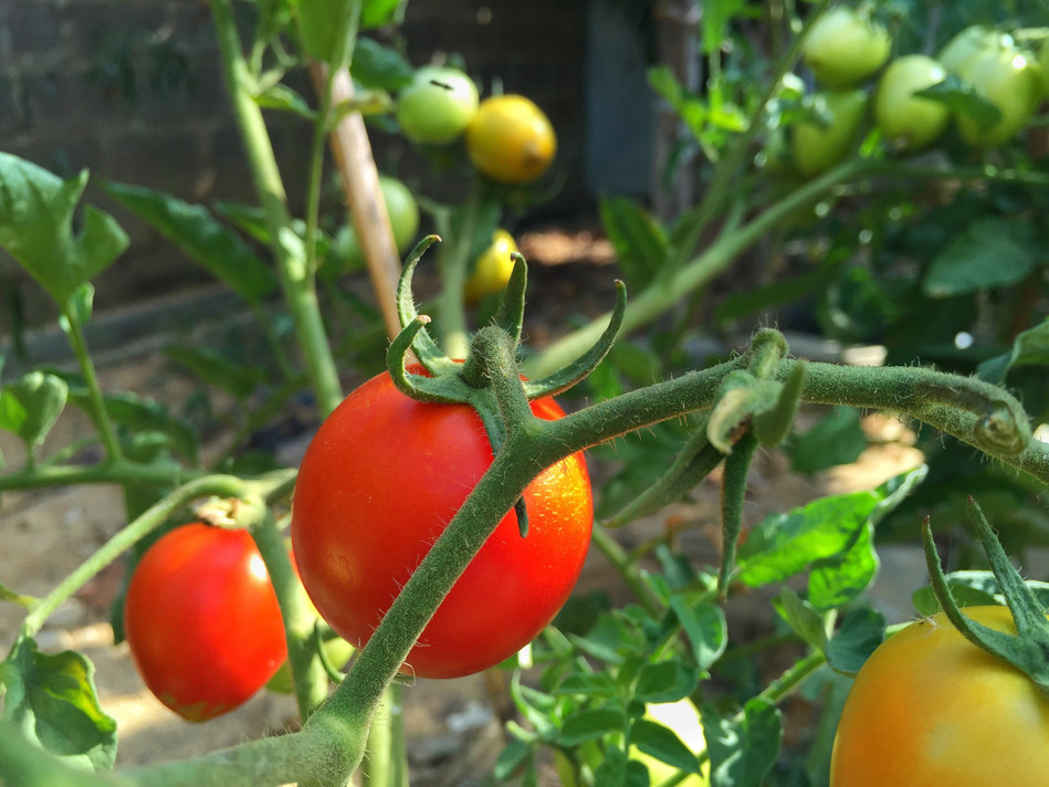 Tomatoes on a greenhouse vine.