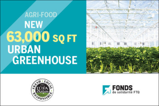 Celery growing in Lufa Farms' new 63,000 sq ft urban greenhouse in Anjou, Québec (CNW Group/Fonds de ...