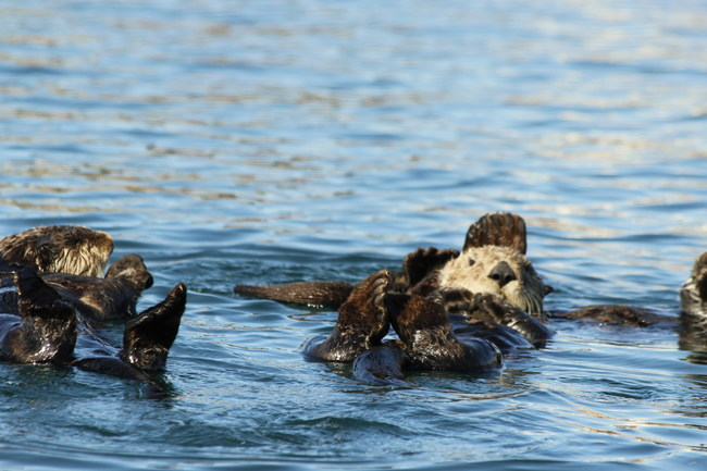Cuteness overload with otters in Morro Bay, CA