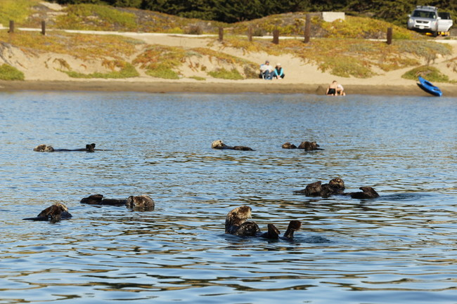 Watching Morro Bay otters from Coleman Beach, CA.