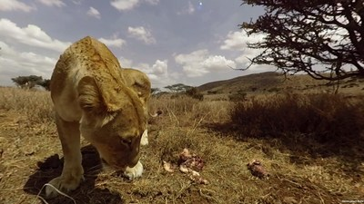 Virry VR and PlayStation Present an Extraordinary Virtual Reality Experience - Bringing Rare Animals From the African Savannah Up Close and Personal