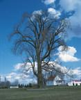L'organisme à but non lucratif Enracinart vous invite à participer à la découverte du patrimoine végétal du Québec. Courez la chance d'obtenir un crédit dans leur prochain livre « Nos vainqueurs – au cœur des arbres remarquables du Québec ». Sur cette photo, un peuplier deltoïde aussi appelé «tremble géant». (Groupe CNW/Enracinart)