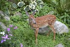 Bambi and Thumper; Cute as can be of perpetual garden pests? Try Bobbex Repellent to keep them both at bay. (PRNewsfoto/Bobbex Inc.)